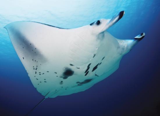Na fotografia, pode ser observada a região ventral de uma manta de recife com padrão de coloração característico (ventre branco e manchas pretas).
