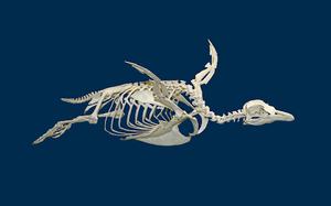 Foto do esqueleto de um pinguim num fundo azul escuro. O esqueleto está posicionado de forma que o pinguim parece estar voando.