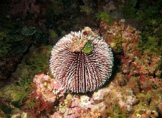 Em destaque a fotografia mostra um ouriço-do-mar de cor avermelhada com pontas brancas sob uma rocha, com algas ao redor.