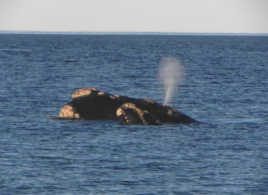 A foto mostra uma parte cabeça de uma mãe e de um filhote de baleia franca para fora d'água, em mar aberto. A pele das baleias tem coloração escura e sua cabeça apresenta protuberâncias similares a grandes verrugas, chamadas calosidades. A baleia adulta está borrifando, apresentando um jato de vapor no topo da sua cabeça.