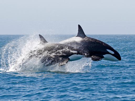 Predadores máximos do oceano: como vivem as orcas?