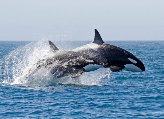 Foto de duas orcas saltando do oceano, lado a lado. O corpo delas é preto, com o ventre branco e manchas brancas nas laterais da cabeça.