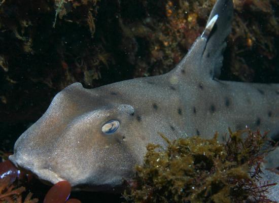 A imagem mostra um tubarão de chifre de coloração acinzentada e marrom com algumas pintas pretas. Ele está no fundo do oceano e ao seu redor há algumas algas.