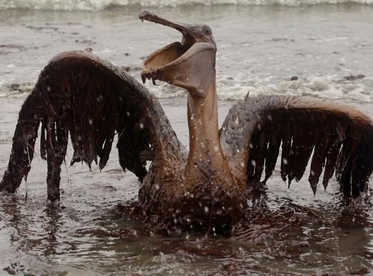 Imagem de um pelicano com o bico e as asas abertas. Ele está todo sujo com óleo assim como a água ao seu redor.