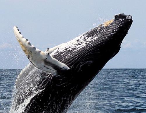Importância das baleias para o ecossistema marinho