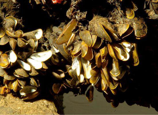 Imagem mostrando vários mexilhões-dourado aglomerados em um substrato.