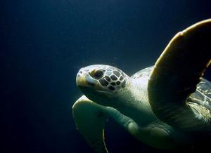 Tartaruga marinha vista de lado. Imagem de fundo azul escuro homogêneo com tartaruga surgindo no canto inferior esquerdo. É possível apenas visualizar sua cabeça, nadadeiras torácicas e porção anterior da carapaça e do plastrão.