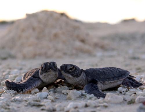 Tartarugas marinhas e o aquecimento global