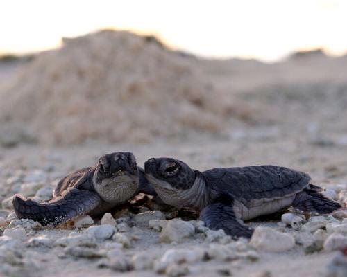 Foto de dois filhotes de tartarugas marinhas próximas como se estivessem se abraçando sobre areia clara com alguns cascalhos. Ao fundo perecebe-se um amontoado de areia e uma parte do céu com sobras solares.
