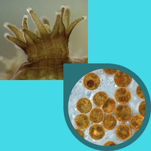 Nesta imagem temos duas fotos. A primeira foto mostra os tentáculos de um coral, que são várias estruturas compridas utilizadas para capturar as presas. A segunda foto é uma foto ampliada no microscópio de microalgas que ficam nos tecidos destes corais. São várias microalgas redondas na imagem.