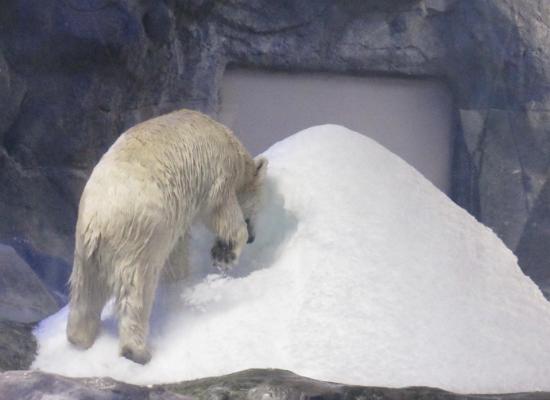 A foto nos mostra um urso-polar  em um recinto do Aquário de São Paulo, interagindo com um monte de neve. O recinto é bem iluminado e o urso, aparentemente, escala o monte de neve.