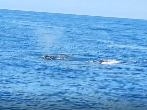 Monitoramento de cetáceos marinhos e métodos de pesquisa