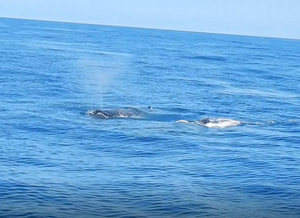 Na foto, vê-se o oceano e duas baleias jubarte emergindo na superfície da água para respirar. Uma delas está borrifando água pelo orifício na parte superior da cabeça.