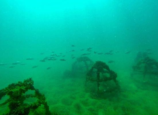Foto subaquática de cinco estruturas gradeadas, em formato cônico, próximas umas das outras e cobertas por macroalgas. Ao fundo, pode-se perceber um cardume de peixes passando entre as estruturas.