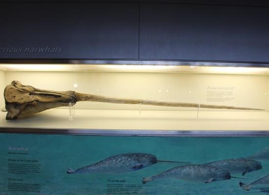 Fotografia do dente canino de uma baleia narval em uma vitrine em exposição. A foto mostra o dente inteiro e parte do crânio do animal.