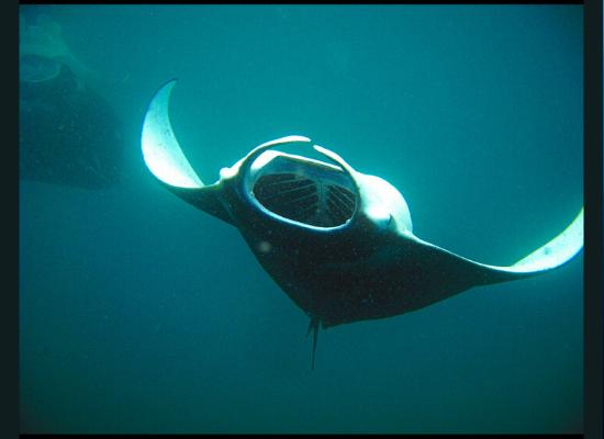 """Fotografia de uma arraia-jamanta nadando em decúbito dorsal (""""de cabeça para baixo"""") no mar azul-esverdeado."""