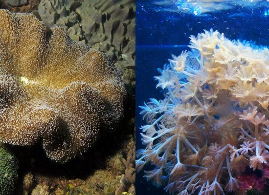 Montagem com duas fotos. A foto do lado esquerdo é um coral duro de cor marrom no meio de um recife. Do lado esquerdo é um coral mole de cor rosa claro no meio do mar.