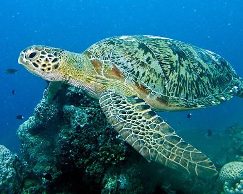 Foto de uma tartaruga marinha submersa no fundo do mar. Na imagem a tartaruga está nadando por cima de um coral e é possível ver alguns peixes pequenos nadando ao lado da tartaruga.