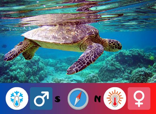 A imagem é uma representação da proporção de fêmeas e machos de tartaruga marinha. Pode observar uma tartaruga submersa e sobre a foto, no sentido da esquerda para a direita se tem o desenho de um termômetro em azul (referencia à temperatura fria), ao lado tem a simbologia para os machos seguido pela letra S (referindo-se ao sul). No meio tem o desenho de uma bussola (o que divide a representação para os machos e para as fêmeas). Seguindo a direita desta bussola tem a letra N, ao lado o desenho de um termômetro em vermelho (representando temperatura quente) e ao seu lado a simbologia para as fêmeas.
