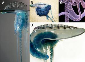 Observa-se quatro imagens da colônia Physalia physalis. A colônia inteira,observando, em tom azulado,os organismos em forma de bexiga e de tentáculos,em laboratório ,sobre um fundo cinza (Imagem A),a colônia encalhada na praia (Imagem B),uma fotografia,sobre um fundo branco, dando ênfase ao organismo em forma de bexiga,transparente e com um tom azulado (imagem D),a imagem C consiste em uma fotografia dos organismos que assumem a forma de tentáculos da colonia,com um tom mais rosado,sobre um fundo preto. e sendo possível observar os cnidócitos.