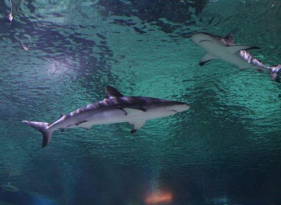 Tubarões fotografados de um ângulo em que é possível observar suas colorações dorsal e ventral.