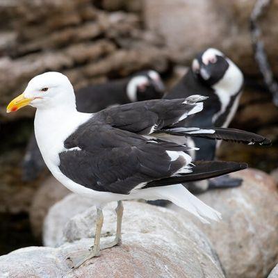 Fotografia de uma gaivota, seu corpo é branco, as asas são pretas e o bico amarelo; ela está sobre uma rocha.