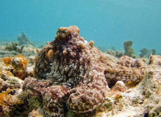 No primeiro plano da foto é possível observar um polvo se camuflando com um coral.