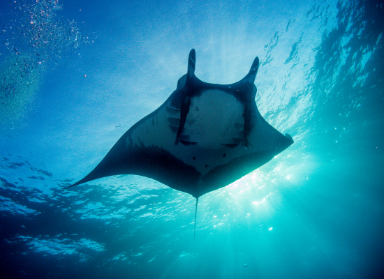 Fotografia tirada submersa no oceano na direção de baixo para cima mostrando a parte ventral de uma raia-manta. No segundo plano, a superfície do mar iluminada pela luz do sol.