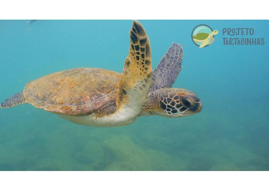 Fotografia subaquática de uma tartaruga marinha nadando, fundo azul com a espécie Chelonia mydas (tartaruga-verde) e no canto superior direito o logo do Tartabinhas. Este indivíduo é fotoidentificado e monitorado pelo Projeto Tartabinhas, recebe o código CM045 e o nome de ANASTÁSIA.