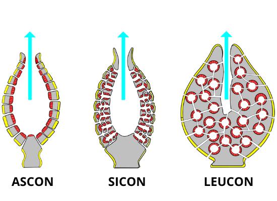 Esquema representando os três diferentes tipos de estruturas corpóreas de esponjas. A primeira, em formato de taça, possui o centro grande e oco, com pequenos canais que ligam o meio externo ao interno. A segunda possui o formato de uma taça um pouco mais rasa e maior número de canais, que se ramificam. Já a terceira possui o centro oco menor devido ao aumento de complexidade de canais hídricos, que se ramificam, se comunicam e até formam câmaras.