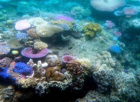 Foto da grande barreira de coral, na Austrália. Há corais moles e duros, com cores variadas, mas alguns corais estão no processo de branqueamento, tendo bastante contraste com os corais coloridos.
