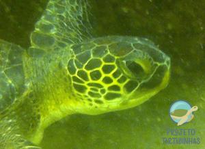 Fotografias do lado esquerdo e direito de tartaruga marinha embaixo d'ágiua. Não é possível ver fibropapiloma.