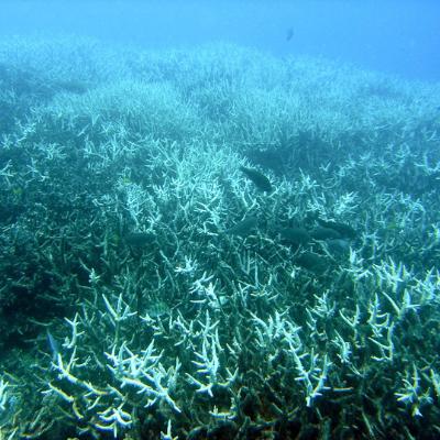 Fotografia do fundo do mar em azul/esverdeado com presença de estruturas semelhantes à galhos que na verdade são os corais. Acima desses corais é possível observar a presença de alguns peixes de cor preta.
