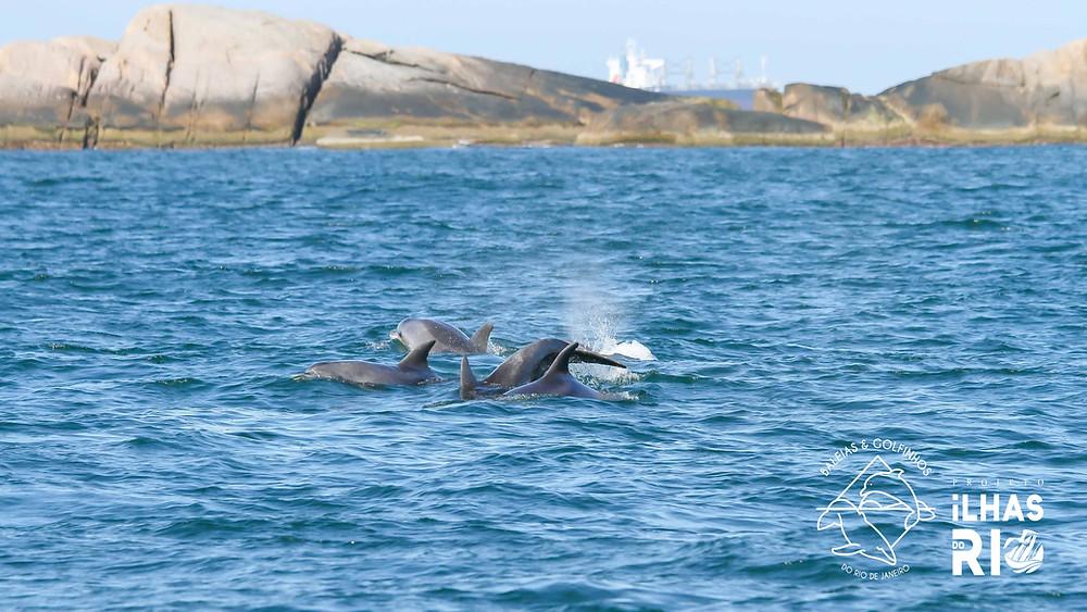 """Quatro golfinhos-fliper se deslocando no anel interno do Arquipélago das Cagarras, localizado a cerca de 5km da Praia de Ipanema. Ao fundo a Laje Praça Onze, localizada à direita da Ilha Comprida. A coloração do dorso e flanco do golfinho-fliper é cinza-clara com uma capa dorsal cinza-escura. A cabeça é arredondada, o rostro (""""bico"""") é curto e largo."""