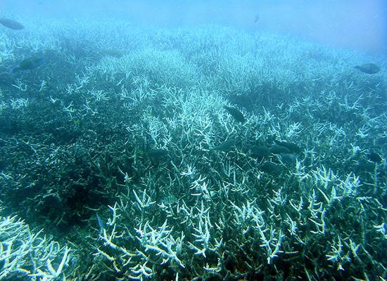 Foto de um recife de coral no fundo do mar. A aparência dos corais é de estruturas pontiagudas e ramificadas, com coloração pálida. Alguns peixes nadam próximos aos corais.