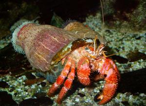 A foto apresenta um caranguejo-ermitão de cor alaranjada dentro de uma concha. Em cima desta concha têm duas anêmonas-do-mar com corpo mole e boca cheia tentáculos brancos em suas extremidades superiores. Esses organismos estão sobre o substrato oceânico, uma região composta por rochas, areia e conchas.