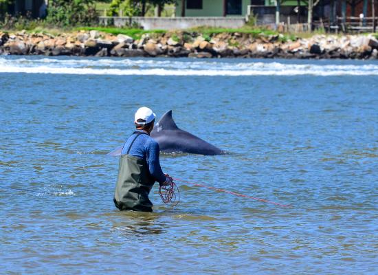 A foto mostra, em primeiro plano, um pescador em uma laguna, com a água até a parte superior das coxas, segurando uma rede em sua mão, denominada tarrafa. Em segundo plano, cerca de dez metros à frente, está a nadadeira dorsal de um golfinho que participa da pesca de forma conjunta.