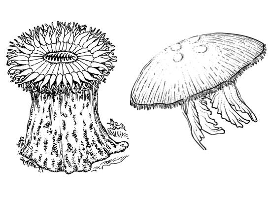 À esquerda temos um pólipo em formato cilíndrico, e a direita uma medusa em formato de uma sombrinha aberta, com tentáculos saindo dela.