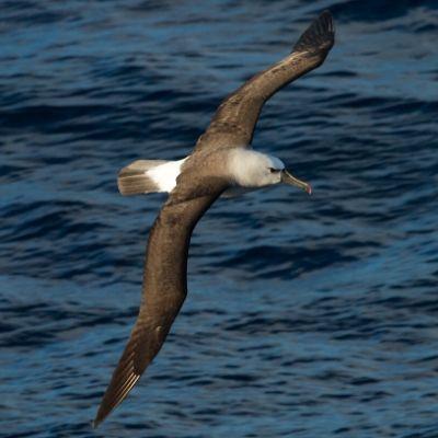 Fotografia de um albatroz-de-nariz-amarelo-do-Atlântico voando, Ave grande com a cabeça acinzentada e asas de coloração marrom.