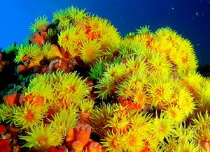 Imagem mostrando vários organismos de coral-sol, de coloração amarelo alaranjado.