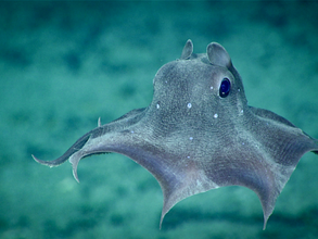 Polvo-dumbo: um animal fofo de grandes profundidades