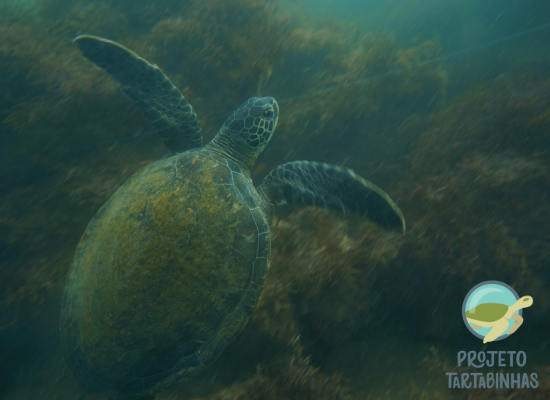 Tartaruga marinha embaixo da água,vista de cima, próxima a algas marinhas e linha de pesca.