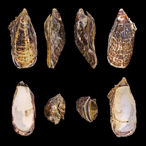 Fotografia da ostra do gênero Crassostrea, disposta em vários perfis: externamente, de lado, de frente, internamente.