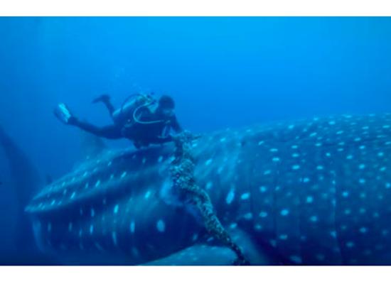 Imagem de um tubarão-baleia enroscado em uma rede de pesca e acima dele um mergulhador tentando retirar essa rede.
