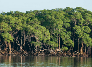Foto de um manguezal. No primeiro plano vemos um corpo d'água e em segundo plano vemos a vegetação de manguezal, com suas raízes escora e folhas verdes.