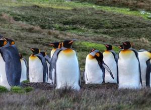 Foto de um grupo com cerca de 10 pinguins, sobre uma superfície gramada. A maioria está olhando para o horizonte e um deles está se coçando.