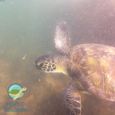 Fotografia do lado esquerdo de uma tartaruga marinha nadando. Fonte: Projeto Tartabinhas.