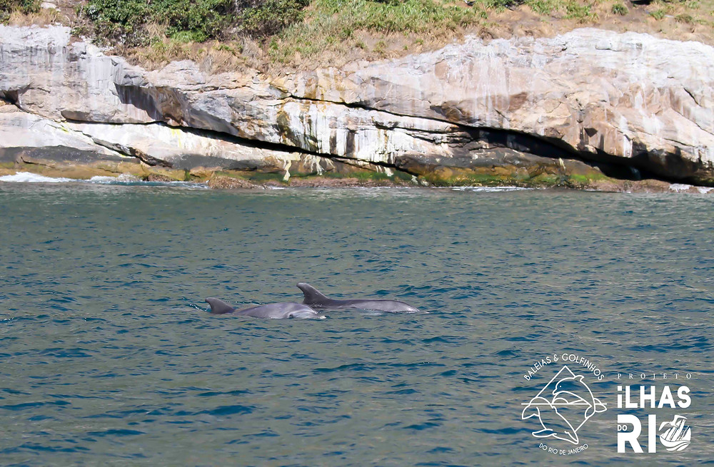 Dois golfinhos-fliper se deslocando no anel interno do arquipélago das Cagarras. Ao fundo, aparece a Ilha Comprida, de formato alongado.