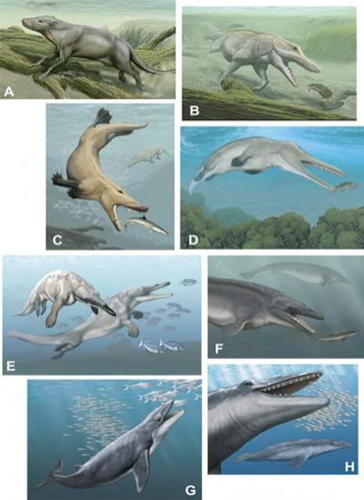 Alt txt: ilustração mostrando a transição gradual de mamíferos do ambiente aquático para o ambiente terrestre. Na Figura A, ilustração de um mamífero em meio terrestre, próximo a água. Na Figura B, ilustração de um mamífero semelhante ao da figura A caçando com o corpo totalmente imerso dentro da água. Na Figura C, ilustração de um mamífero semelhante ao da figura B, mas com membranas entre os dedos das patas para facilitar o nado. Figuras D e E mostram mamíferos semelhantes ao da figura C também caçando embaixo da água, mas com os membros posteriores encurtados. Na Figura F, mamífero aquático com os membros anteriores semelhantes a uma nadadeira, enquanto os mamíferos das Figuras G e H apresentam nadadeiras caudais e ventrais.
