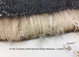 """Foto mostrando a pele de um pinguim imperador com várias penas. As penas encontram-se aglomeradas, formando uma densa e alta camada de penas.Na parte inferior da imagem está escrito """"The Trustees of the Natural History Museum, London""""."""
